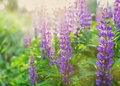 Beautiful summer meadow with wild lupine flowers on the sunset light Royalty Free Stock Photo