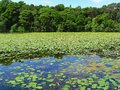 Beautiful summer pond with water lilies in scotland Royalty Free Stock Photo