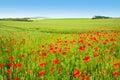 Beautiful summer poppies Royalty Free Stock Photo