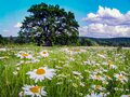 Beautiful summer sunny landscape with a field of daisies, blue sky and white clouds. lonely tree in the meadow and forest in the Royalty Free Stock Photo