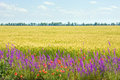 Beautiful summer whea field with flowers. Royalty Free Stock Photos
