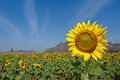 Beautiful sunflower Stock Images