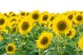 Beautiful sunflower Stock Photo