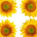 Beautiful sunflower background Stock Photos
