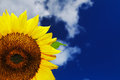 Beautiful sunflower on a background of a blue sky Stock Images