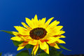 Beautiful sunflower on a background of a blue sky Royalty Free Stock Image