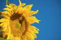 Beautiful sunflower and blue sky ,Thailand Royalty Free Stock Photo