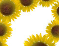 Beautiful sunflower border and white background isolate Stock Photography