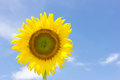 Beautiful sunflower and bright blue sky. Royalty Free Stock Photo