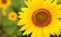 Beautiful sunflower closeup Royalty Free Stock Photo