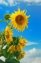 Beautiful sunflower in the field Royalty Free Stock Photo