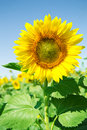 Beautiful sunflower in the field with blue sky Royalty Free Stock Photo