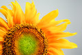 Beautiful sunflower on gray background close up Stock Image
