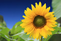 Beautiful sunflower with green leaves Royalty Free Stock Images