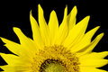 Beautiful sunflower, isolated on black Royalty Free Stock Images