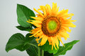 Beautiful sunflower isolated on gray background Stock Photos