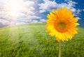 Beautiful Sunflower Over Grass Field Royalty Free Stock Photo