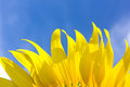Beautiful sunflower petals and bright blue sky. Royalty Free Stock Photo