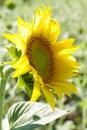 Beautiful sunflower profile Royalty Free Stock Photo