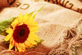 Beautiful sunflower in a rustic background Royalty Free Stock Photo