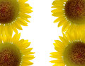 Beautiful sunflower and white background isolate Royalty Free Stock Photography