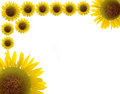 Beautiful sunflower and white background isolate Royalty Free Stock Images