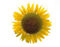 Beautiful sunflower and white background yellow Royalty Free Stock Images