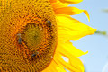 Beautiful sunflowers in summer season Stock Photos