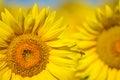 Beautiful sunflowers of Tuscany, Italy Royalty Free Stock Photo