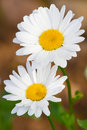 Beautiful sunny chamomile flowers Stock Photography