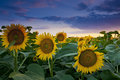 Beautiful sunset  over sunflower field Royalty Free Stock Photo