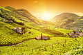Beautiful sunset view over a vineyard in Italy Royalty Free Stock Photo