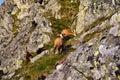 Beautiful surroundings Swinica and wild mountain goats Royalty Free Stock Photo