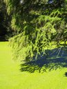 A beautiful swamp cypress Taxodium distichum Royalty Free Stock Photo