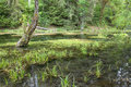 Beautiful Swamp Marsh Photo Hoh National Park Royalty Free Stock Photos