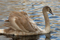 Beautiful swan Stock Images