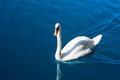 Beautiful swan in the lake on blue with reflection on water Royalty Free Stock Photos