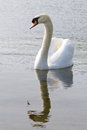 Beautiful swan on the pond Royalty Free Stock Image