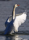 Beautiful swan spreads its wings Royalty Free Stock Photo