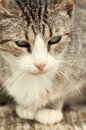 Beautiful tabby cat grey and white Royalty Free Stock Photography