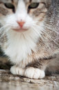 Beautiful tabby cat grey and white Royalty Free Stock Photo
