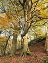 Beautiful tall stately autumn beech trees growing on a steep hillside with leaves beginning to turn golden Royalty Free Stock Photo