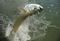 Beautiful tarpon fish jumping out of water Royalty Free Stock Images