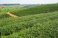 Beautiful tea farm with green environment Royalty Free Stock Photo
