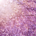 Beautiful tender cherry tree blossom in morning purple sun light floral background spring blooming flowers Royalty Free Stock Photo