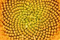 Beautiful texture of closeup sunflower Royalty Free Stock Photo