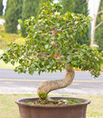 Beautiful thailand bonsai trees Royalty Free Stock Photography