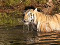 Beautiful tiger drinking river Stock Images