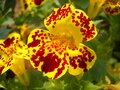 A beautiful tiger flower, red dotted flower, yellow flower Royalty Free Stock Photo