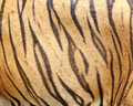 Beautiful tiger fur from skin Royalty Free Stock Image